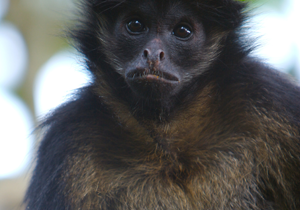 Geoffroy's-Spider-Monkey-thumb2